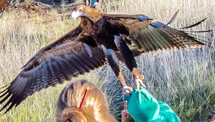 В Австралії гігантський орел ледь не забрав дитину - фото 1